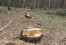 У Ворзелі на території колишнього санаторію Зірка вирізали близько 30 дерев