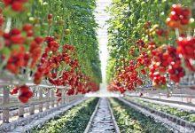 Крупнейший украинский производитель томатной пасты получил сертификат соответствия японским стандартам