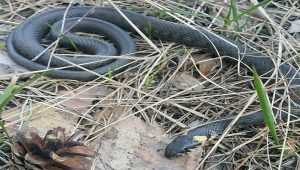 Нашестя змій у місцях відпочинку в Києві. Фото