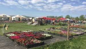 Тюльпанове поле розквітло на Буковині. Фото