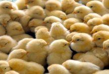 В Харьковской области при пожаре погибли около 1000 цыплят