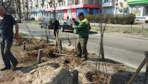 В Киеве на проспекте Соборности появится желтая акация. Фото