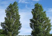 В Киеве высадят 75 деревьев черного тополя
