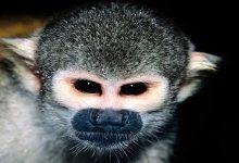 В Николаевском зоопарке обитает саймири-долгожитель
