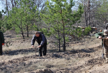 В Чернобыльской зоне высажено 1,2 млн деревьев