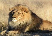 В Тернопольском мини-зоопарке лев травмировал ребенка