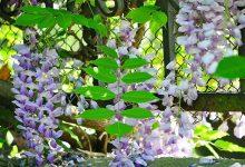 В Ужгороде массово цветет лианоподобная глициния. Фото