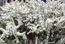 Киянам пропонують долучитися до обрання видів дерев для вулиці Хрещатик