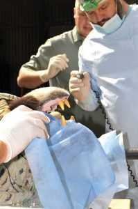 Сьогодні у київському зоопарку тваринам підстригли кігті та полікували зуби