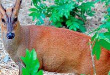 У Київському зоопарку оселилися мунтжаки або гавкаючі олені