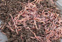 Украинцы заводят себе компостных червей