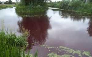 В Броварах вода в озере внезапно приобрела красный цвет