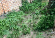 В Киевской области обнаружили случаи незаконного выращивания мака и конопли