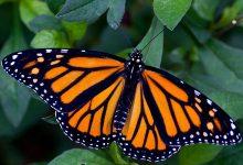 Живая тропическая бабочка Danaus plexippus